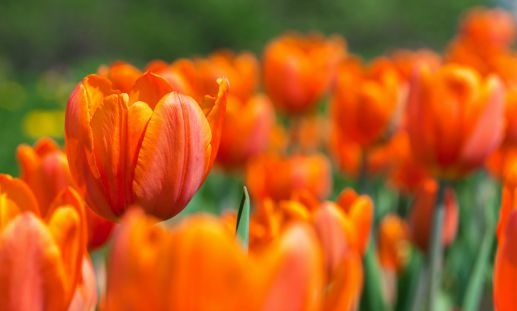 orange tulips at cultural organization